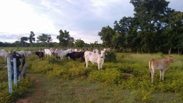 Ladrões furtam 111 cabeças de gado em fazendas na vicinal Irmãos Boneto