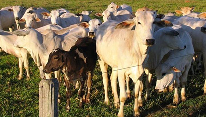 Bandidos furtam 51 cabeças de gado de duas fazendas