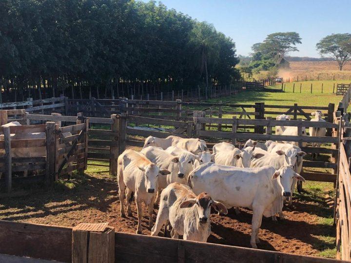 Polícia Civil prende quadrilha especializada em furtos de gado