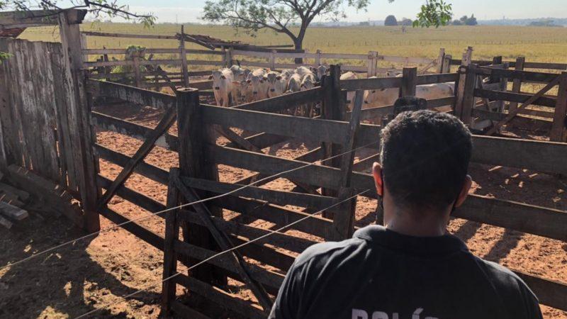 Gado furtado no MS é localizado em Pereira Barreto