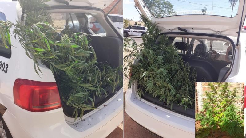 """""""Era para consumo próprio"""", diz preso por plantar maconha em casa"""