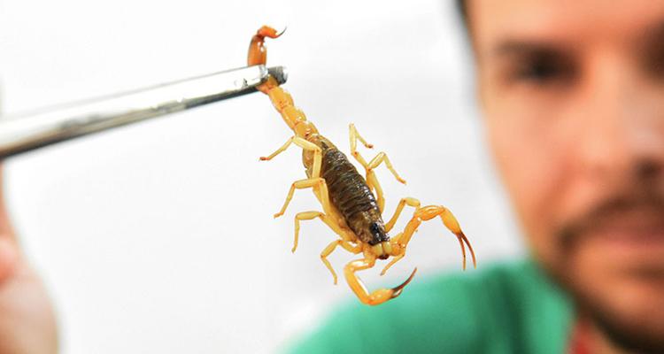 Escorpião: Saiba como evitar ataques e o que fazer em caso de acidente