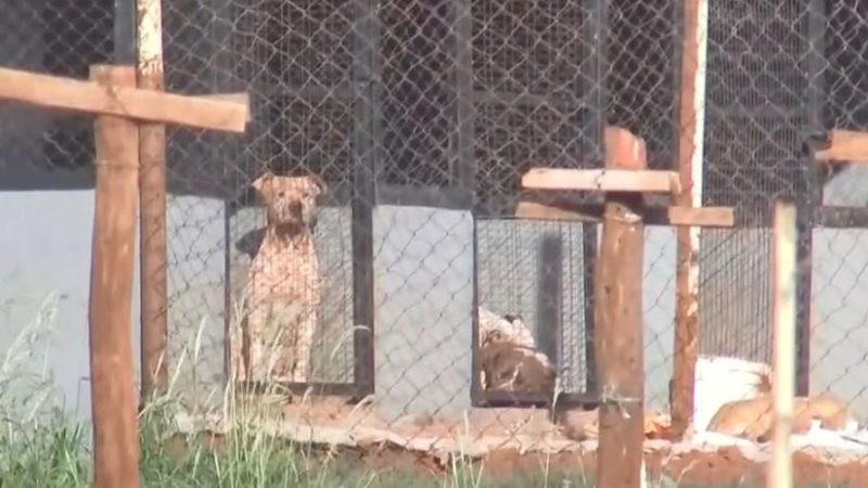 Mulher morre após ataque de seis cães pitbull